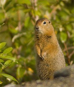 Arctic Ground Squirrel Picture