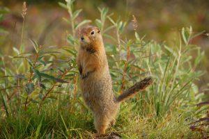 Images of Arctic Ground Squirrel
