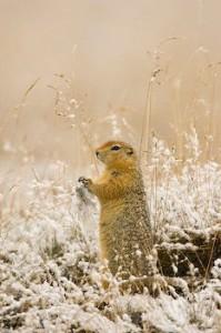 Photos of Arctic Ground Squirrel