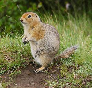 Pictures of Arctic Ground Squirrel