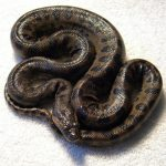Baby Anaconda Pictures