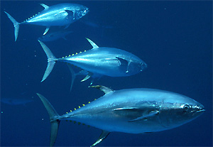 Photos of Bigeye tuna