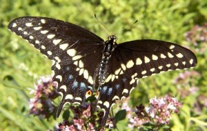 Black Swallowtail Picture