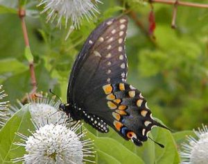 Images of Black Swallowtail