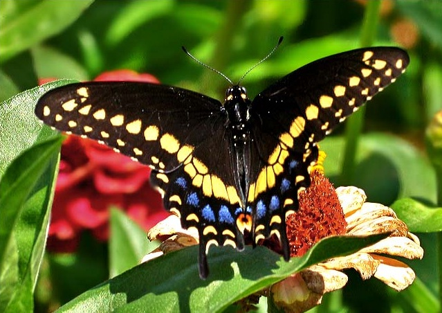 Photos of Black Swallowtail