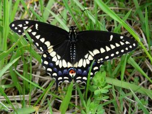 Pictures of Black Swallowtail