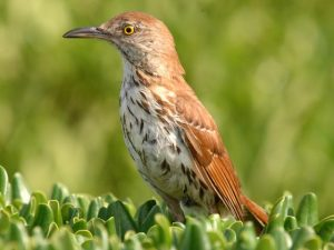 Brown Thrasher Picture