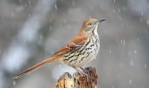 Images of Brown Thrasher