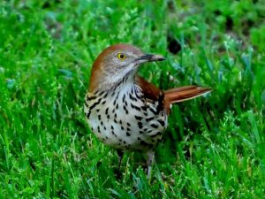Pictures of Brown Thrasher