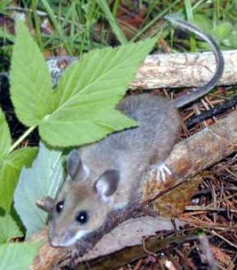 Deer Mouse Picture