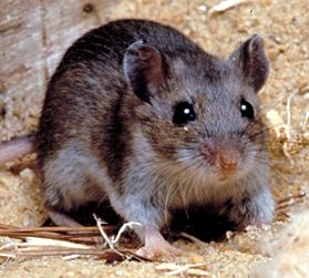 Photos of Deer Mouse