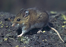 Pictures of Deer Mouse