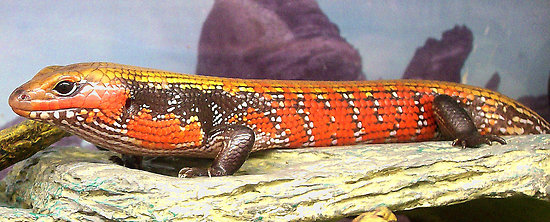Images of Fire Skink