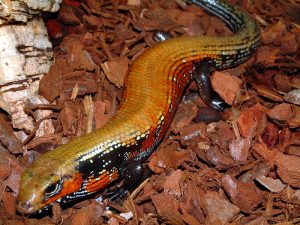 Photos of Fire Skink