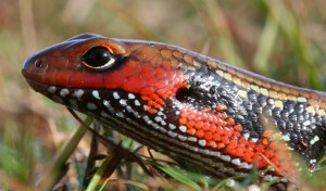 Fire Skink Picture