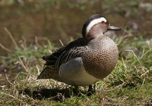 Garganey Picture