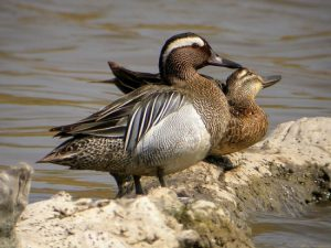 Images of Garganey