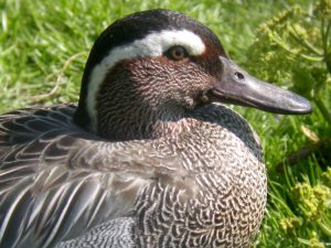 Pictures of Garganey