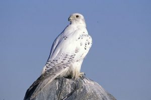 Images of Gyrfalcon