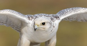 Photos of Gyrfalcon
