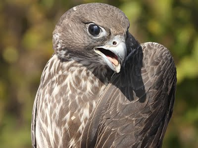 Pictures of Gyrfalcon