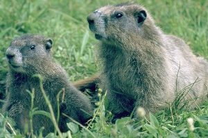 Hoary Marmot Picture
