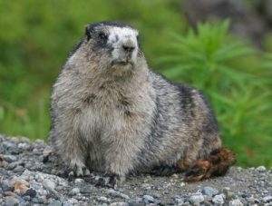 Images of Hoary Marmot