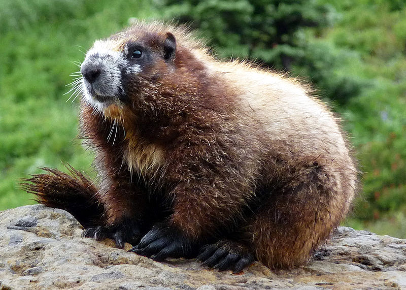 Photos of Hoary Marmot