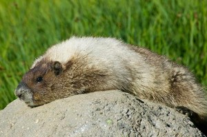 Pictures of Hoary Marmot