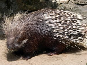 North American Porcupine Picture