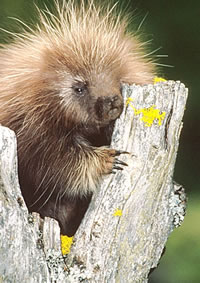 Images of North American Porcupine