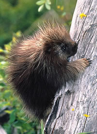 Photos of North American Porcupine