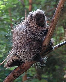 Pictures of North American Porcupine