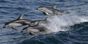 Images of Pacific White Sided Dolphin