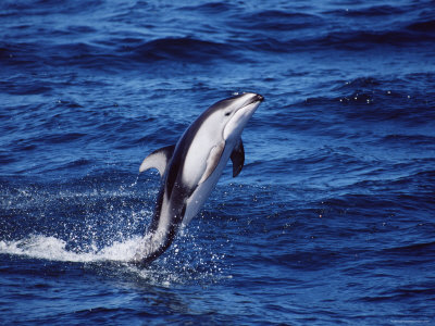 Pacific White Sided Dolphin - photo#17
