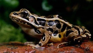 Images of Pickerel Frog