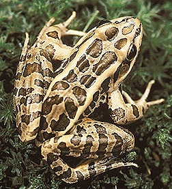 Photos of Pickerel Frog