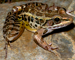 Pickerel Frog Picture