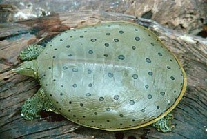 Spiny Softshell Turtle Picture