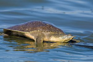 Images of Spiny Softshell Turtle