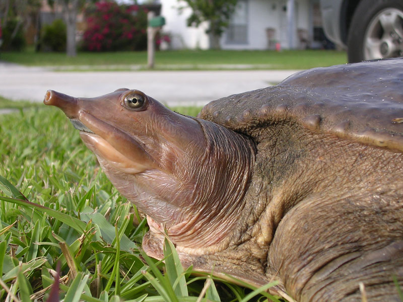 Spiny Softshell Turtle