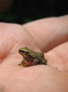 Spring Peepers Picture