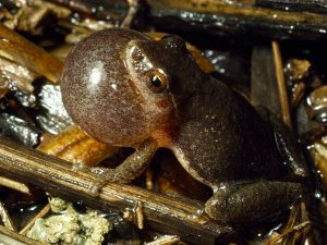 Images of Spring Peepers