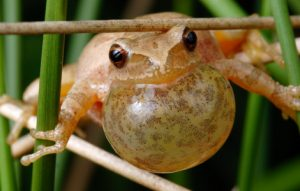 Photos of Spring Peepers