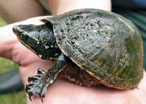 Stinkpot Turtle Picture
