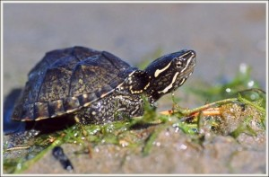 Images of Stinkpot Turtle