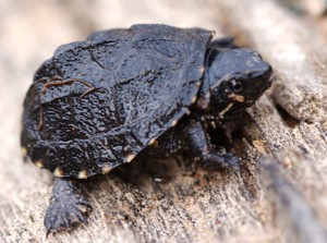 Photos of Stinkpot Turtle