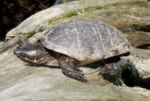 Pictures of Stinkpot Turtle