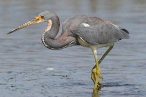 Tricolored heron Picture