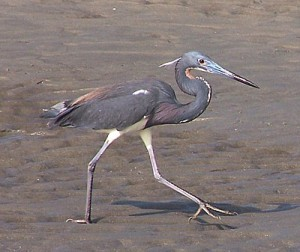 Images of Tricolored heron